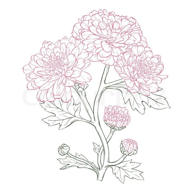Vector chrysanthemum flower.
