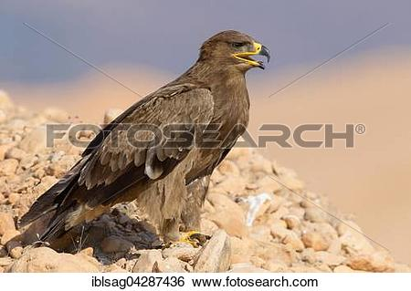 Stock Images of Steppe Eagle (Aquila nipalensis), on the ground.