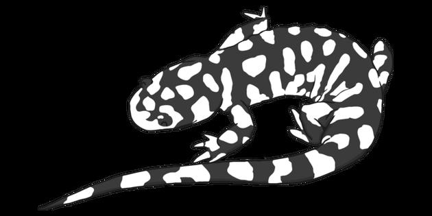 Salamander Black and White Illustration.