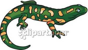Salamander With Orange Spots.