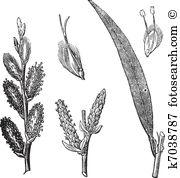 Salicaceae Clipart Lizenzfrei. 10 salicaceae Clip Art Vektor EPS.