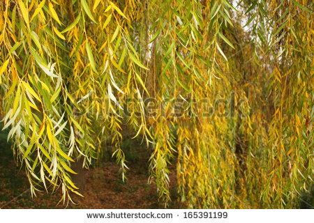 Weeping Willow Tree Stock Photos, Royalty.