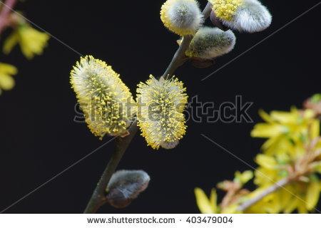Salicaceae Stock Photos, Royalty.