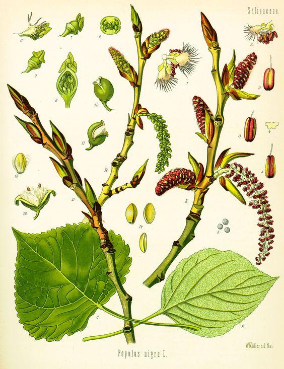 A faj kettős latin neve: Populus × euramericana Magyar név.