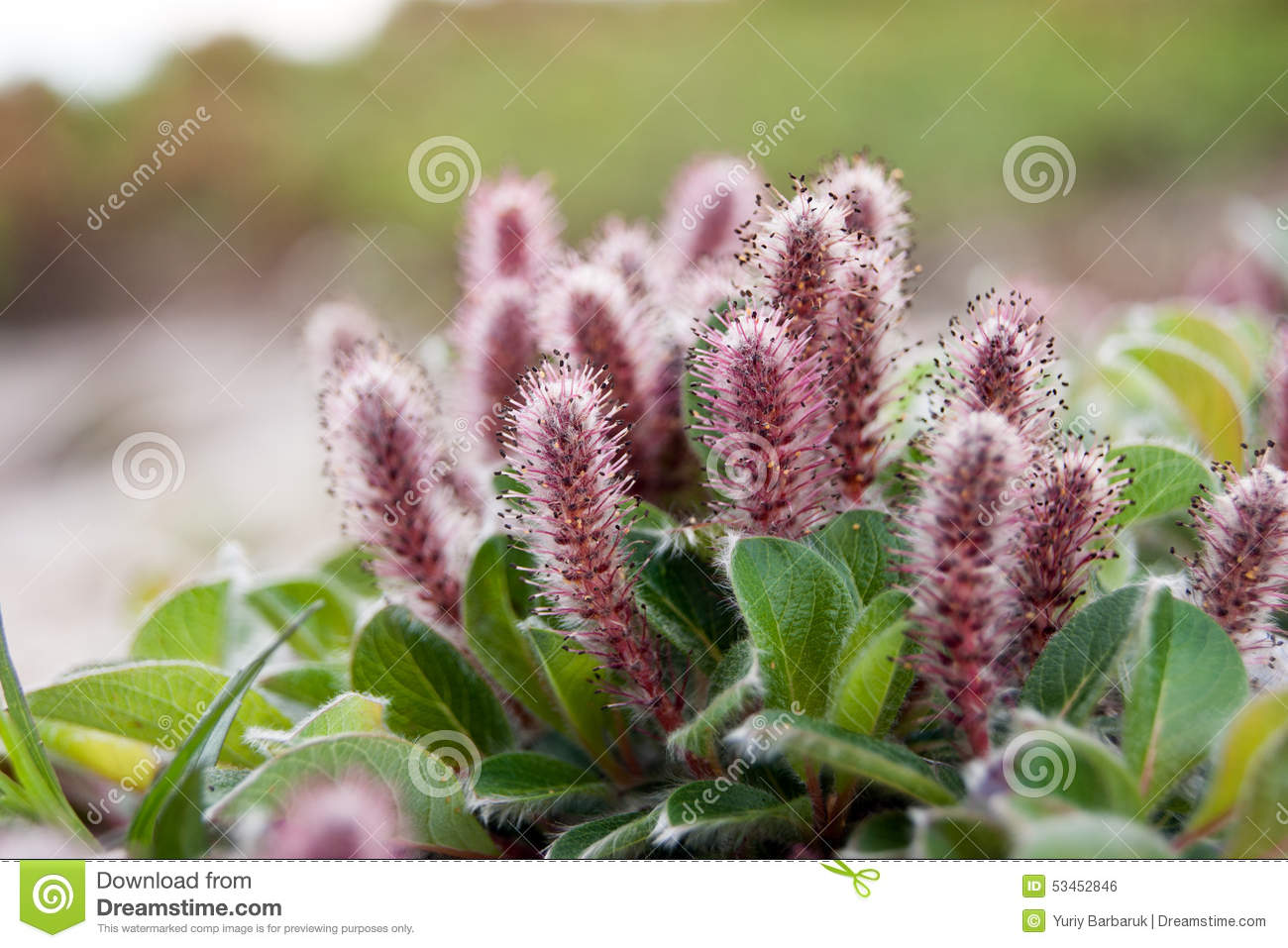 Salix Arctica (Arctic Willow) Stock Photo.