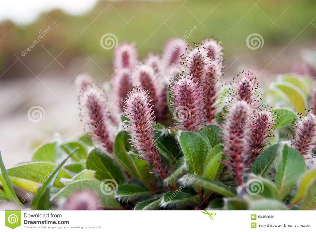 Salix Arctica (Arctic Willow) Stock Photo.