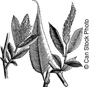 Salicaceae Stock Illustration Images. 11 Salicaceae illustrations.