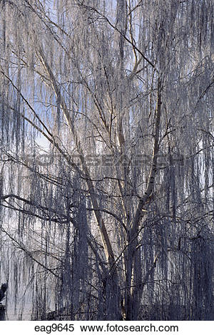 Stock Image of A DORMANT WILLOW TREE (Salicaceae family) covered.