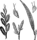 Salicaceae Clip Art.