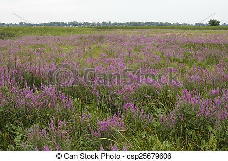 Stock Photography of Purple Loosestrife Invasive Species.