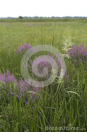 Purple Loosestrife Invasive Species Stock Photo.