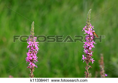 Clipart of lythrum salicaria flowers k11338441.