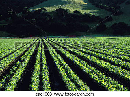 Stock Photo of Rows of pea plants growing in rich soil of the.