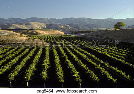 Stock Photo of Rows of GRAPE VINES planted up to the rolling hills.