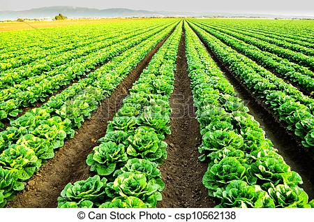 Stock Photos of Lettuce fields in Salinas, CA.