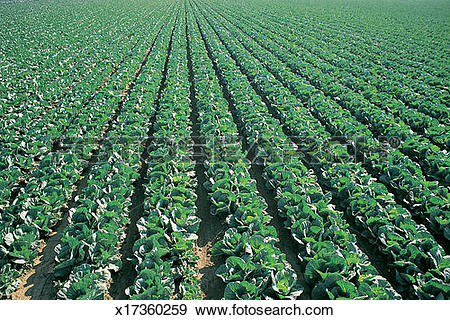 Stock Photograph of Crop of Cabbage Growing in Lines in a Ploughed.