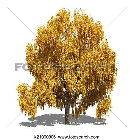 Stock Illustration of Salix alba 'Tristis' (autumn) k21090806.