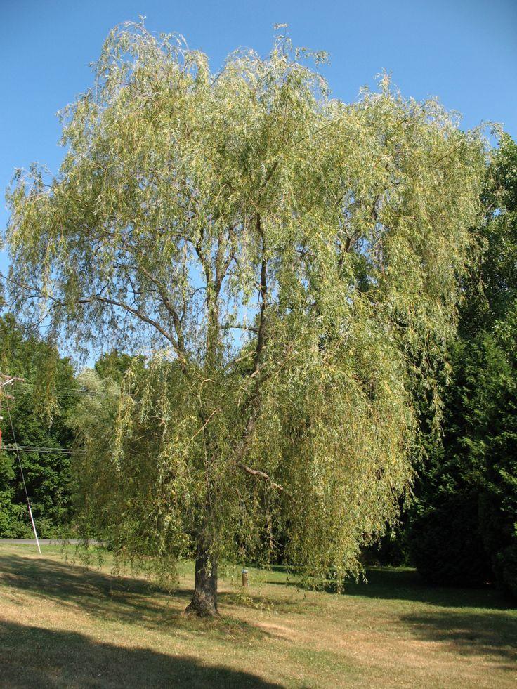 1000+ ideas about Salix Alba on Pinterest.