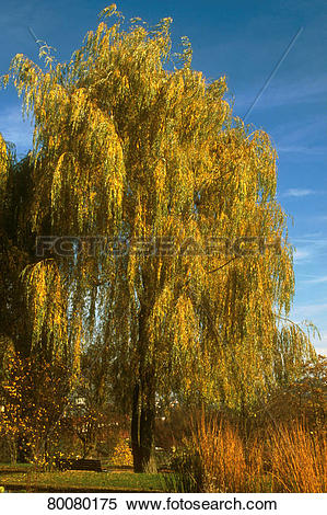 "Stock Image of DEU, 2002: Weeping willow (Salix alba ""Tristis"") in."