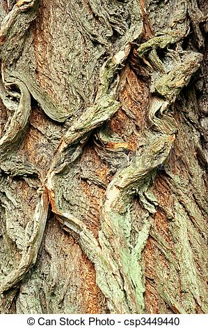 Stock Photography of Background of bark of White Willow, Salix.