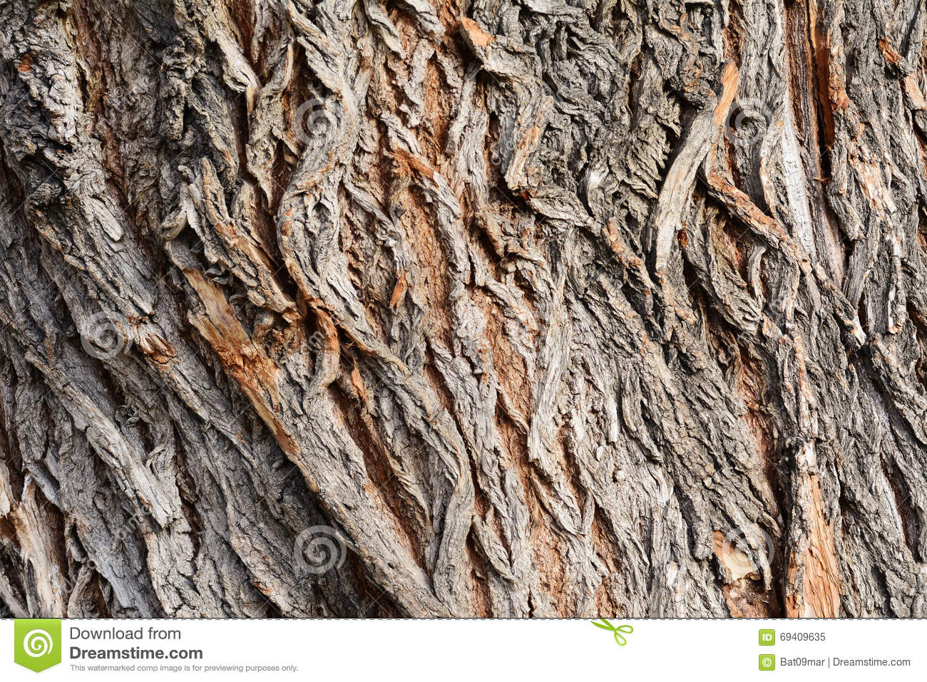 Background Of Bark Of White Willow, Salix Alba Royalty Free Stock.