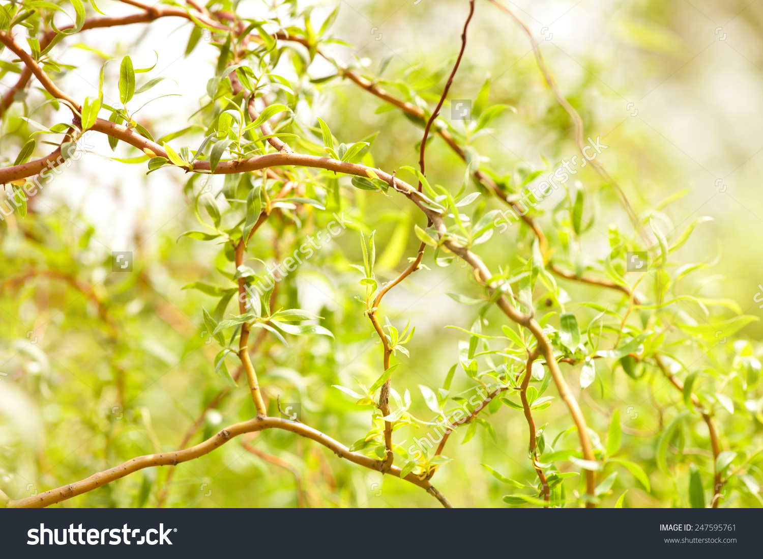 Willow Salix Alba Tree Detail Young Stock Photo 247595761.