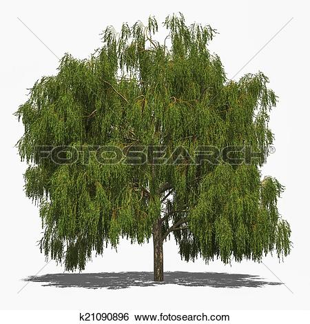 Stock Illustration of Salix alba 'Tristis' (summer) k21090896.