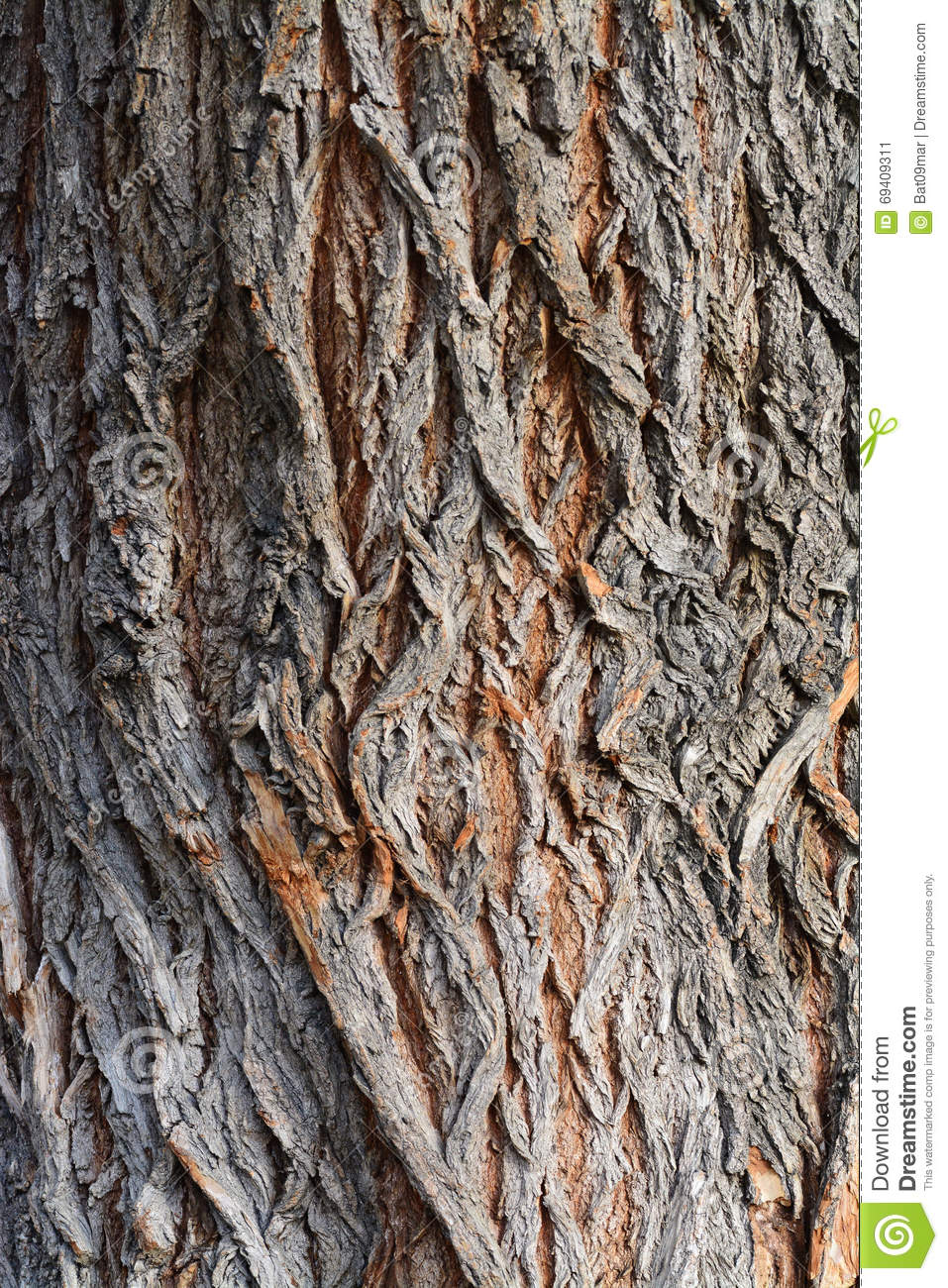 Tree Bark Texture, White Willow (Salix Alba) Bark Stock Photo.