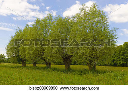 "Stock Photography of ""White Willows (Salix alba) on a meadow."