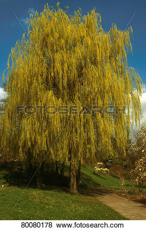 "Pictures of DEU, 2002: Weeping willow (Salix alba ""Tristis"") in."