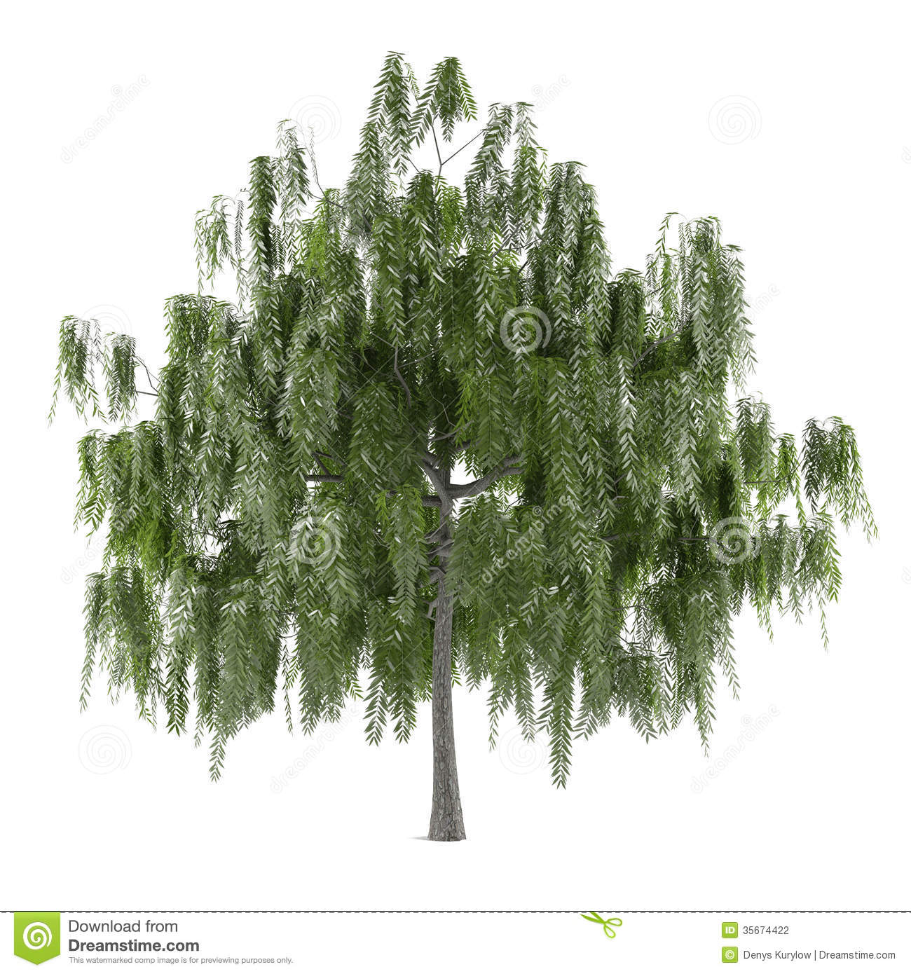 Tree Isolated. Salix Alba Stock Photography.