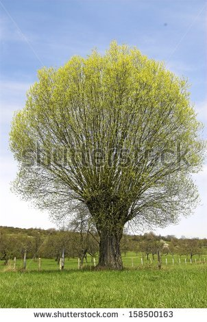 Salix Alba Stock Photos, Royalty.