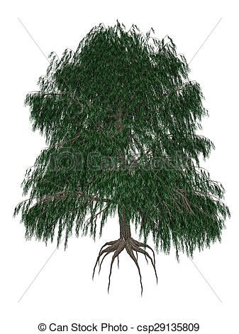 Stock Illustration of Babylon or weeping willow, salix babylonica.