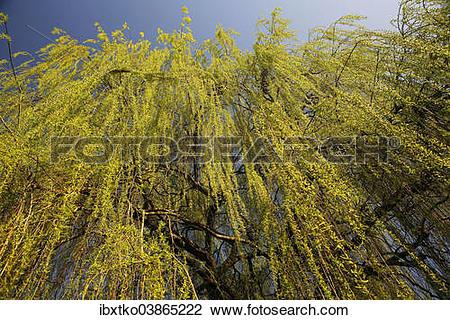 "Stock Photo of ""Weeping Willow (Salix babylonica), pendulous."