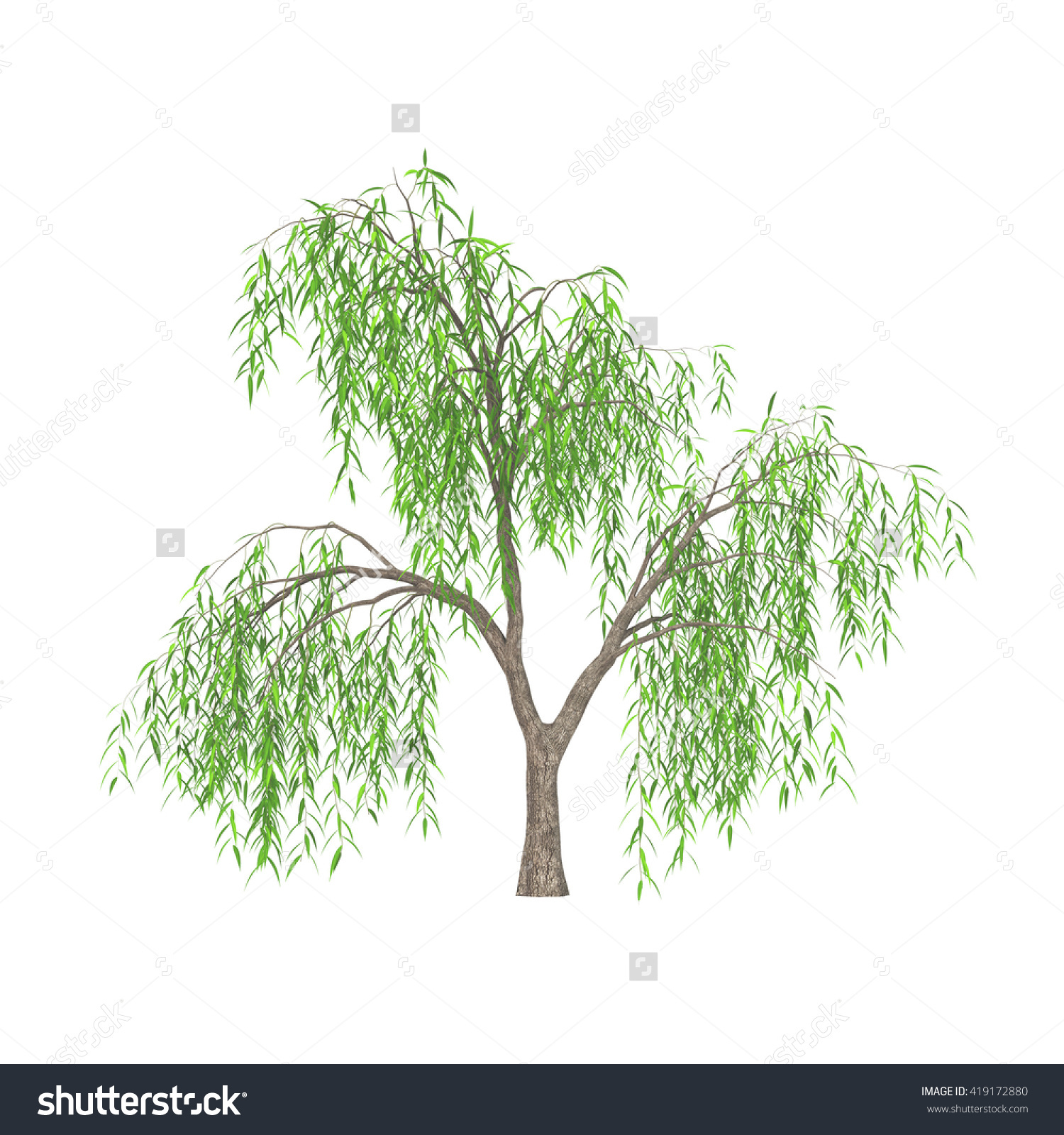 Weeping Willow Tree Salix Babylonica Long Stock Illustration.