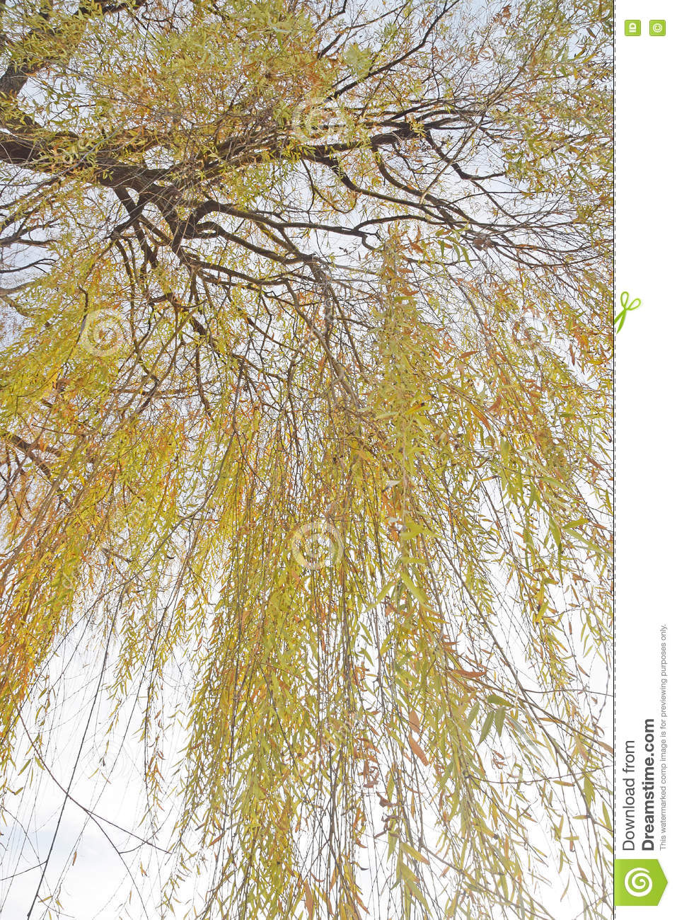 The Detail Of A Weeping Willow Tree, Salix Babylonica Stock.