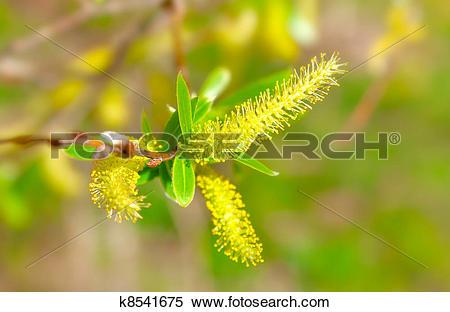 Stock Image of macro shot of blooming willow tree. Salix caprea.