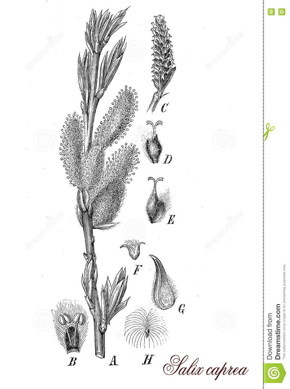 Salix Caprea Or Goat Willow, Botanical Vintage Engraving Stock.