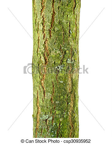 Stock Images of Goat willow (Salix caprea) bark isolated on a.