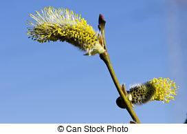 Stock Images of macro shot of blooming willow tree. Salix caprea.