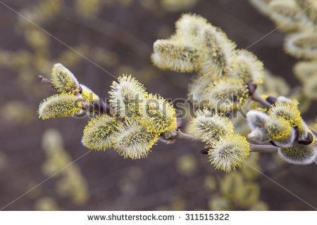 Salix Caprea Stock Photos, Royalty.