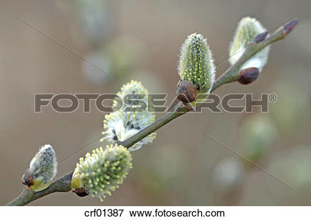 Picture of Pussy willow (Salix caprea), close.