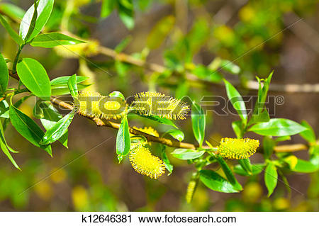 Stock Photography of macro shot of blooming willow tree. Salix.