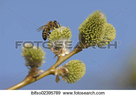 """Stock Photograph of """"Western honey bee (Apis mellifera) perched on."""
