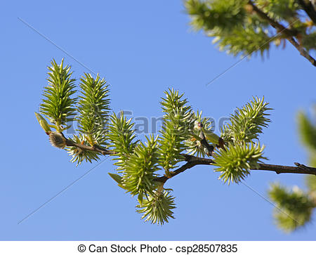 Stock Photos of Goat willow (Salix caprea) twig with female.