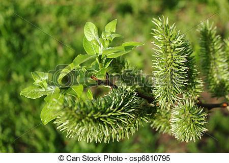 Stock Images of Salix caprea. Female inflorescence close.