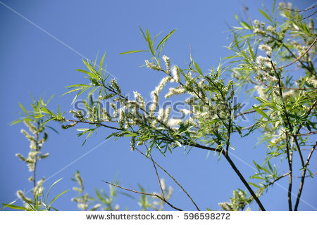 Salix Viminalis Stock Images, Royalty.