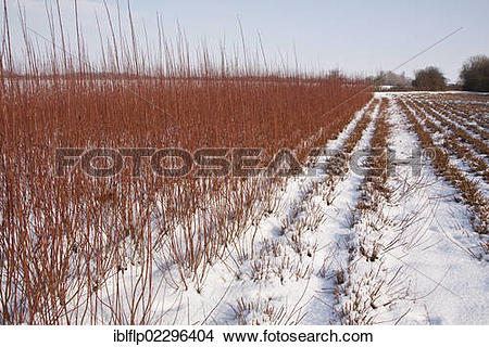"Stock Photo of ""Cut and uncut Osier (Salix viminalis) grown for."