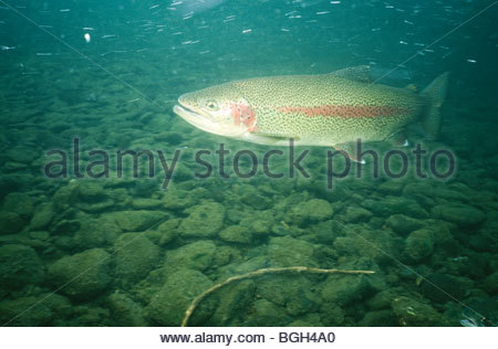 Trout Swimming Stock Photos & Trout Swimming Stock Images.
