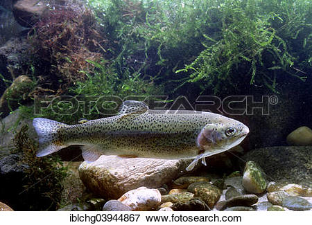 """Picture of """"Rainbow Trout (Salmo gairdneri), captive, France."""